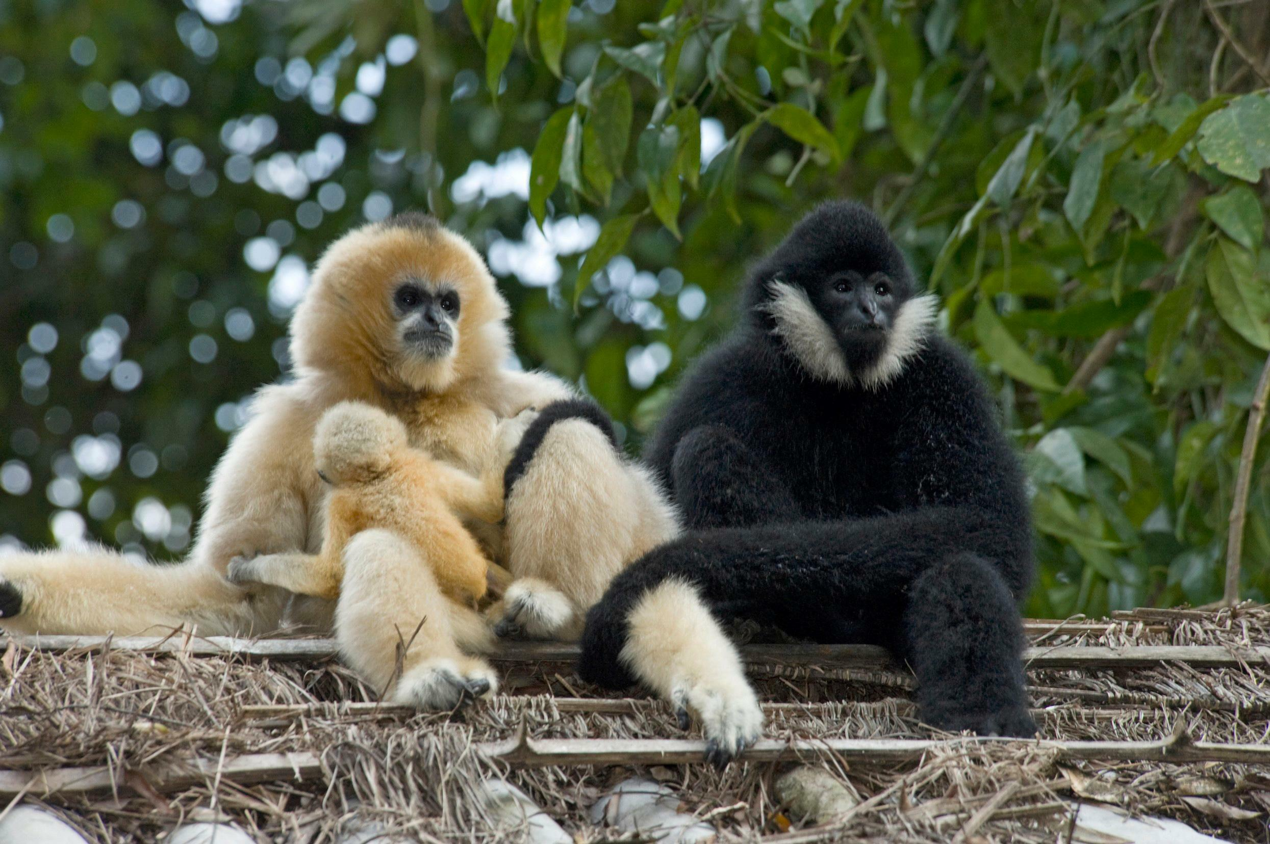the evolution and adaptations of the tropical rainforest primates the gibbons The major evolutionary trends that distinguish primates and their generalized  mammalian form came as a result of adaptation to arboreal living  the most  widely distributed of non-human primates, ranging from tropical forests to semi- arid deserts and seasonal  eight gibbon species are found in tropical areas of  se asia.