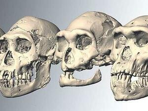Various The five skulls of early humans that were found in Dmanisi, Georgia, you are about 1.8 million years old Photo:... Ponce de León / Zollikofer / University Zurich