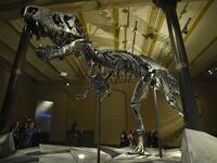 "T.rex ""Tristan"" is displayed in the Natural History Museum in Berlin"